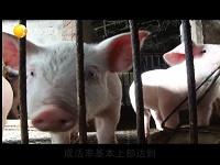 辽宁卫视报道绿叶135保健养猪